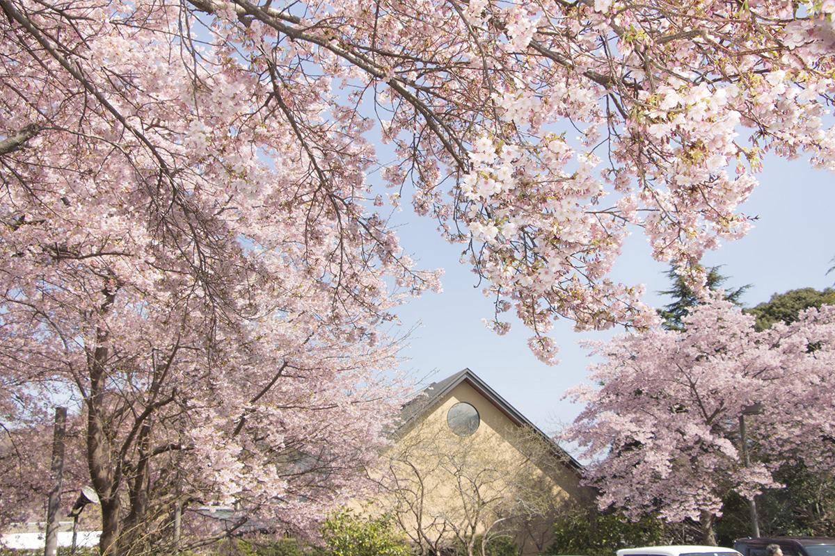 箱根・小田原に春を探しに行こう。春うらら 桜色に染まる「かまぼこの里」