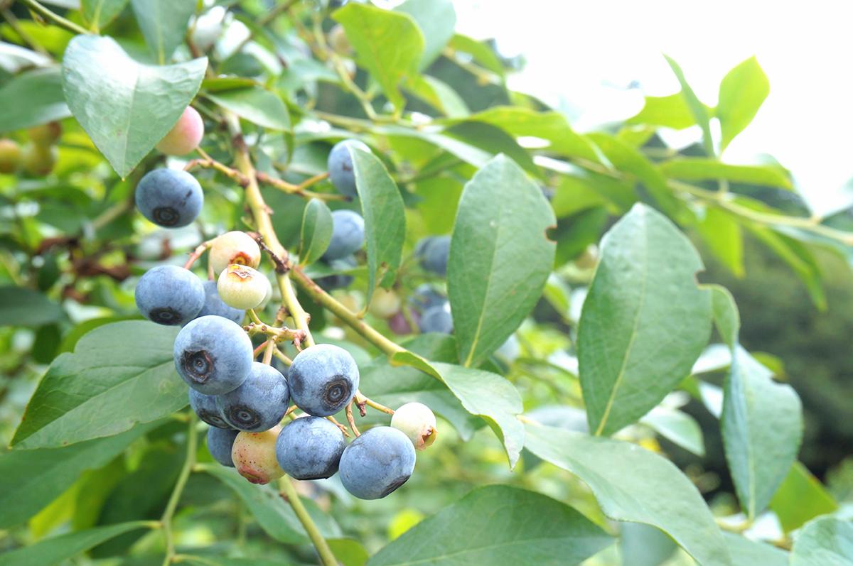 ひと粒ひと粒に甘みを閉じ込めて 今が旬のブルーベリー
