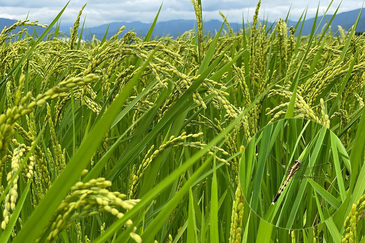 トンボやカモが棲む稲田から届く、秋の恵み
