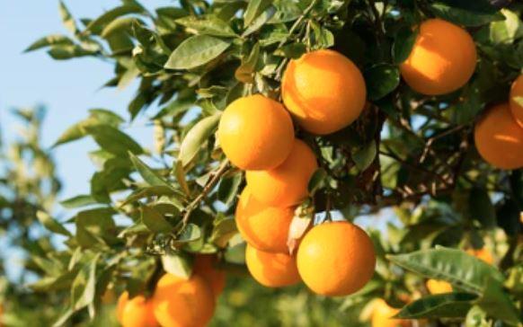 鈴廣特製肥料で育てた「バレンシアオレンジ」の香り