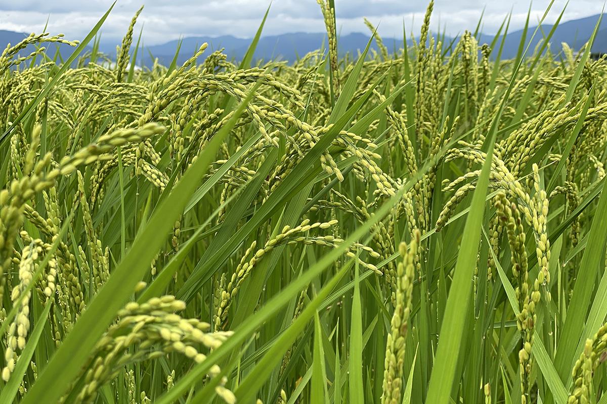 農薬も化学肥料も使わない米穀を